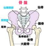 尾てい骨(尾骨)は脊柱の最下部にある下のとがった骨です。